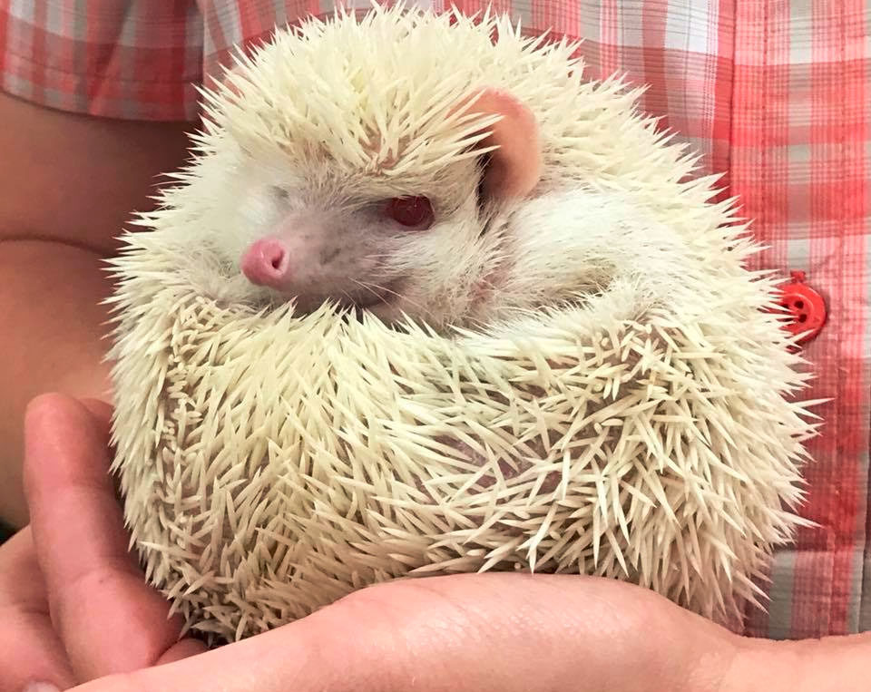 Teacher holding a white hedgehog at a Preschool & Daycare/Childcare Center serving Apex & Fuquay-Varina, NC